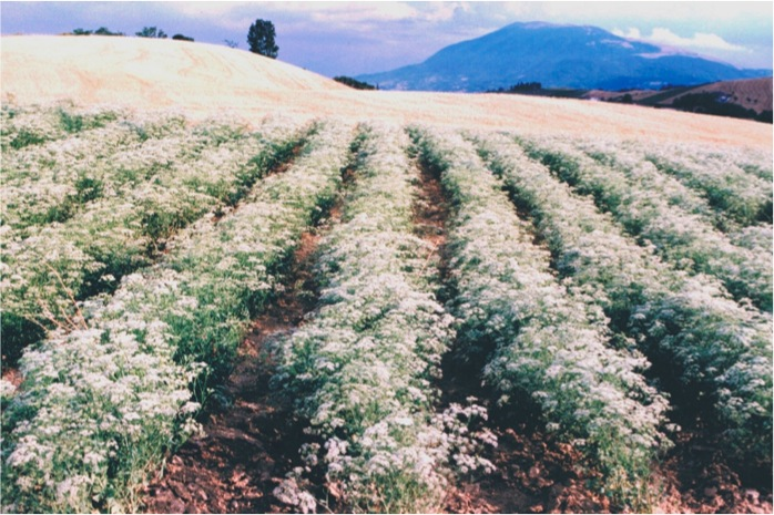 campo fiorito di anice verde